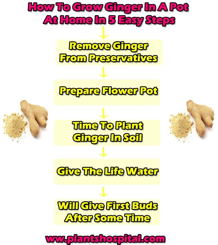 grow-ginger-graphic