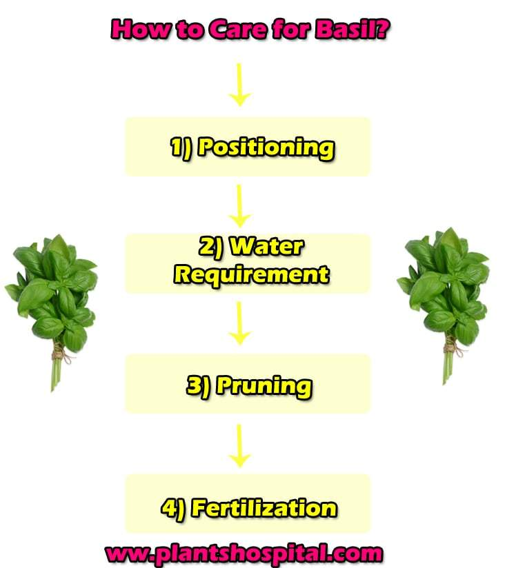 how-to-care-basil