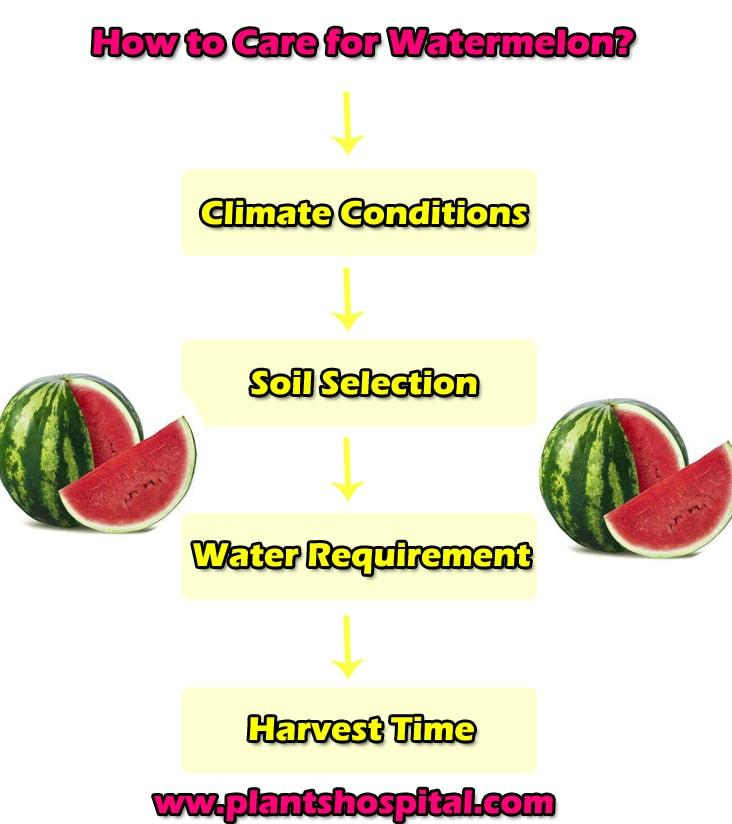 how-to-care-for-watermelon-graphic