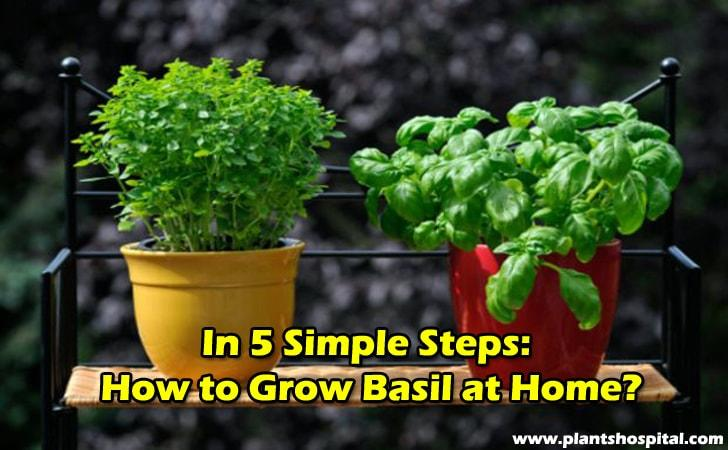how-to-grow-basil-at-home