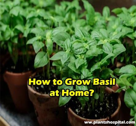 how-to-grow-basil