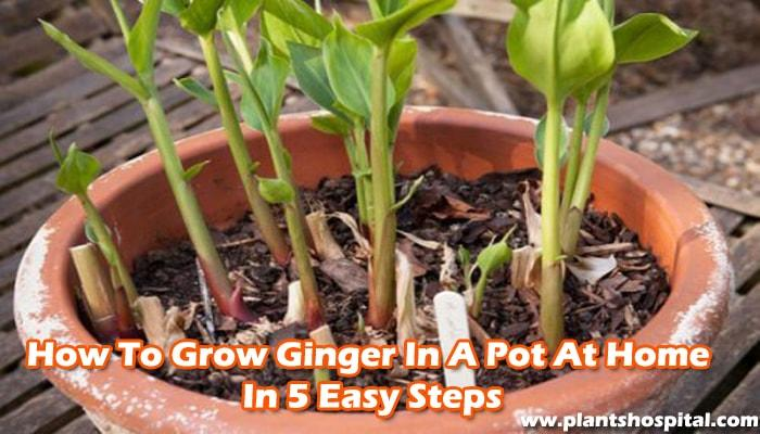 how-to-grow-ginger-at-home