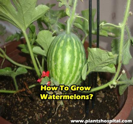 how-to-grow-watermelons