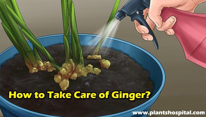how-to-take-care-of-ginger