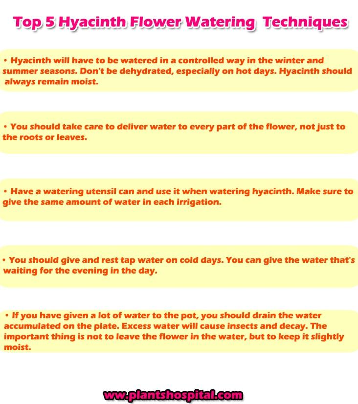 hyacinth-flower-watering-techniques-graphic
