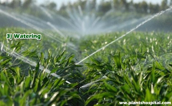 watering-banana-plants