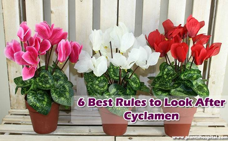6-best-rules-to-look-after-cyclamen