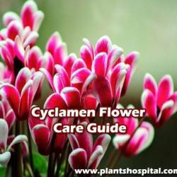 Cyclamen-flower-care-guide