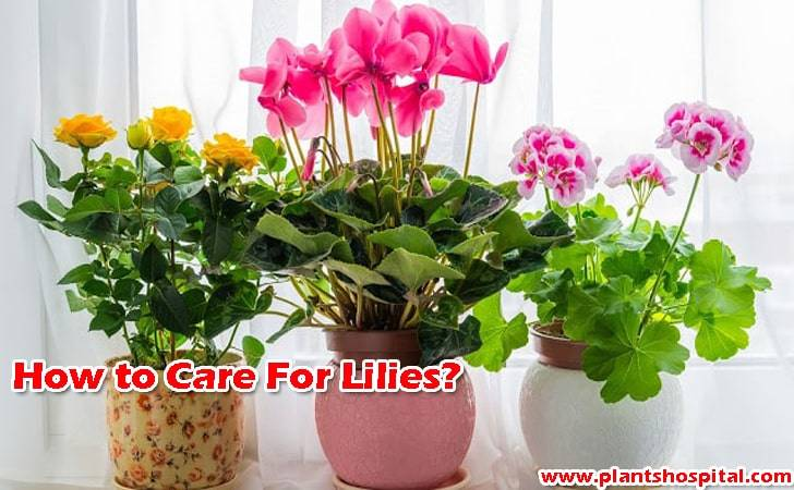 How-to-care-for-lilies