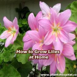 How-to-grow-lilies