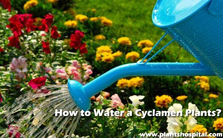 How-to-water-a-cyclamen-plants