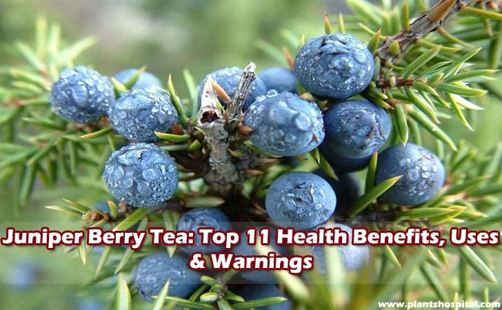 Juniper-berry-tea-benefits