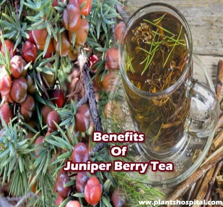 Juniper-berry-tea