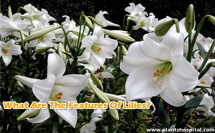 What-are-the-features-of-lilies
