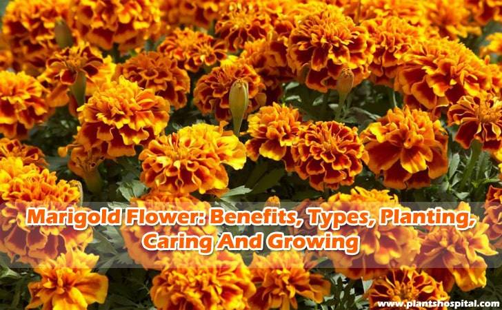 how-to-grow-marigold-flower