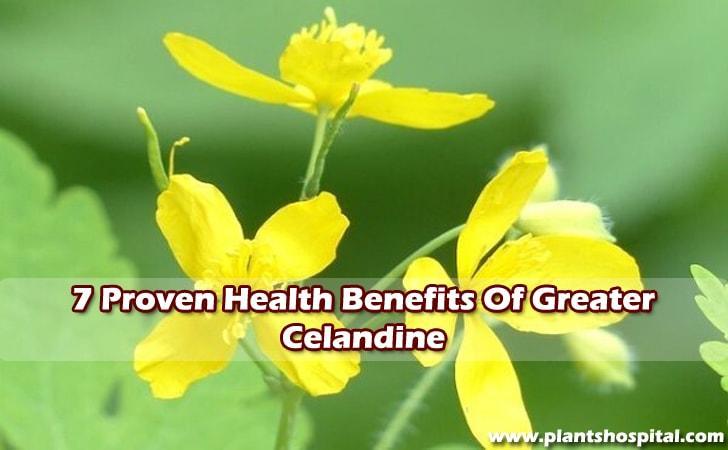 benefits-of-greater-celandine