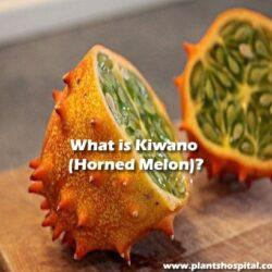 What-is-Kiwano